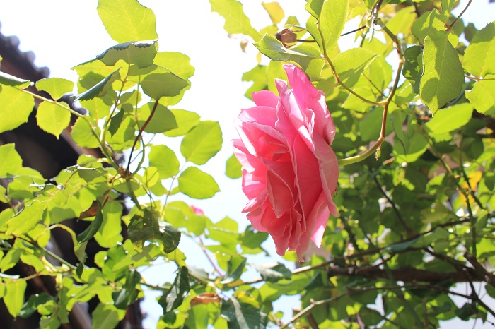 モチーフは、庭のバラの花たち